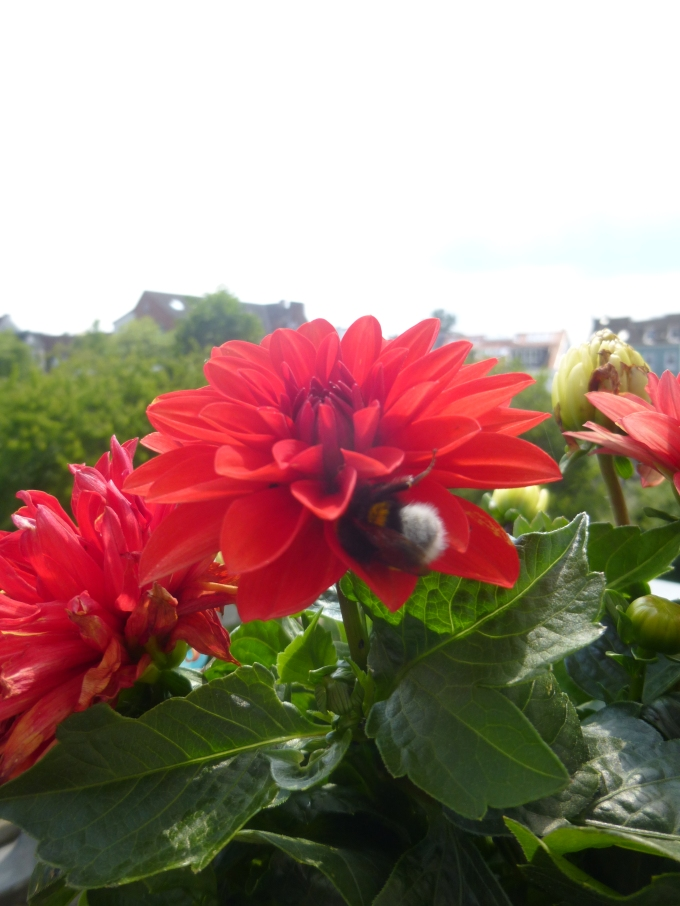 I also have a dahlia that the bumblebees adore. And Ingrid pets the bumblebees. They actually seem to like that.